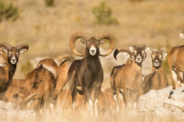 Mouflons : Comptage et reportage en images