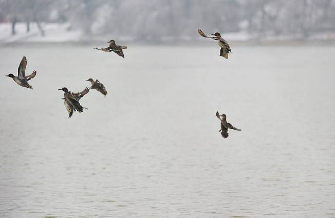 Dates de fermeture de la chasse aux migrateurs et oiseaux d'eau