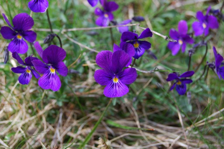 Concours Prairies fleuries : l'Aubrac est un bouquet !